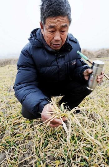 От засухи в Китае уже пострадало 96% озимой пшеницы всей страны. Фото: AFP PHOTO