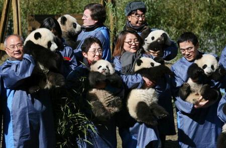 Працівники Китайського центру захисту і вивчення гігантських панд тримають дитинчат панди. Фото: China Photos/Getty Images