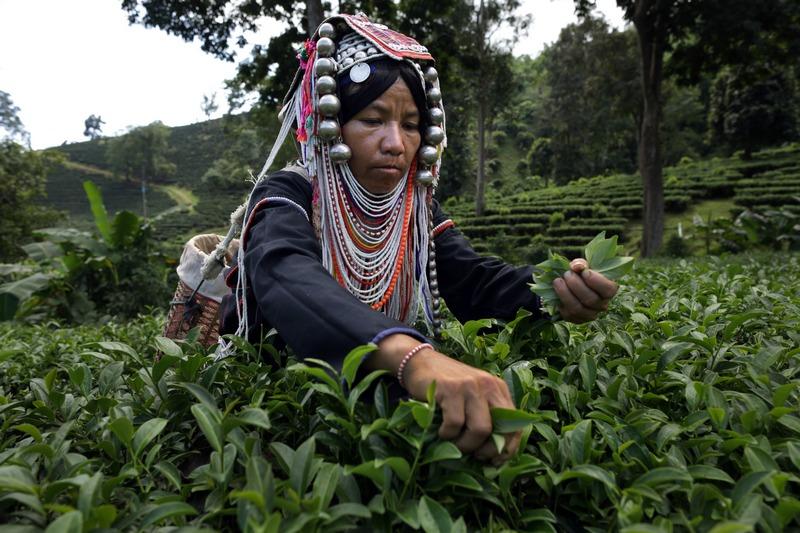 Чианграй, Таиланд, 11 ноября. На чайных плантациях наступил очередной сезон сбора чая «Улун 17». Чай собирают каждые 45 дней в количестве около 1,5 тонн за сезон. Фото: Paula Bronstein/Getty Images