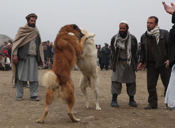 В Афганистане возобновили собачьи бои. Во время правления талибов они были запрещены. Фото: Majid Saeedi/Getty Images