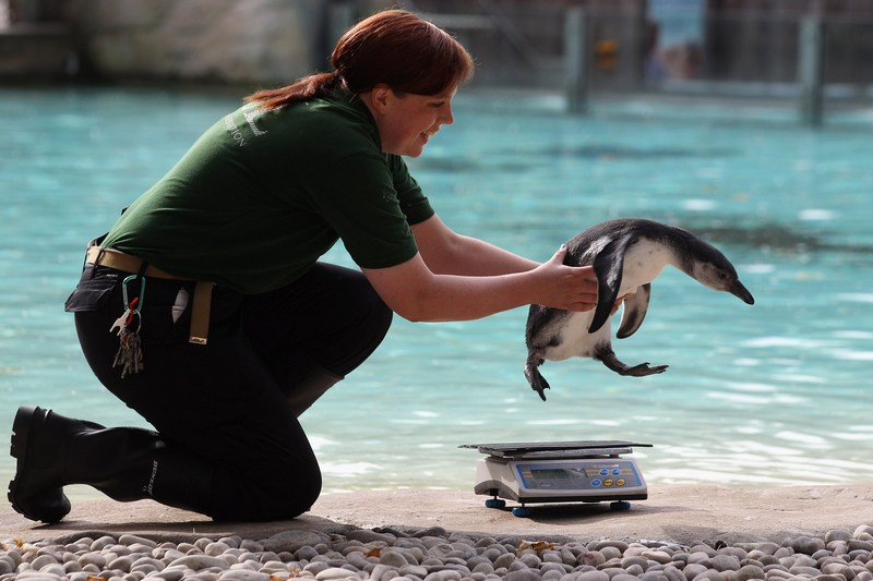 Лондон, Англия. 22 августа. В Лондонском зоопарке — ежегодное взвешивание и измерение питомцев, которых насчитывается свыше 16 тыс. особей. Фото: Oli Scarff/Getty Images