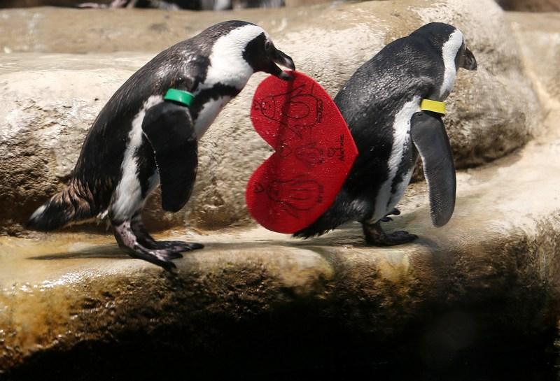 Сан-Франциско, США, 13 лютого. Очкові пінгвіни каліфорнійської академії наук отримали «валентинки», підписані відвідувачами академії. Фото: Justin Sullivan/Getty Images