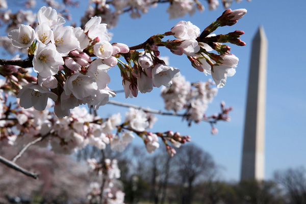 Фестиваль цветения вишни в Вашингтоне. Фото: Alex Wong/Getty Images