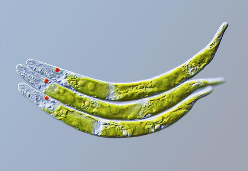 Живі екземпляри зеленої водорості «Euglena mutabilis». Фото: Gerd Gunther/Dusseldorf, Germany
