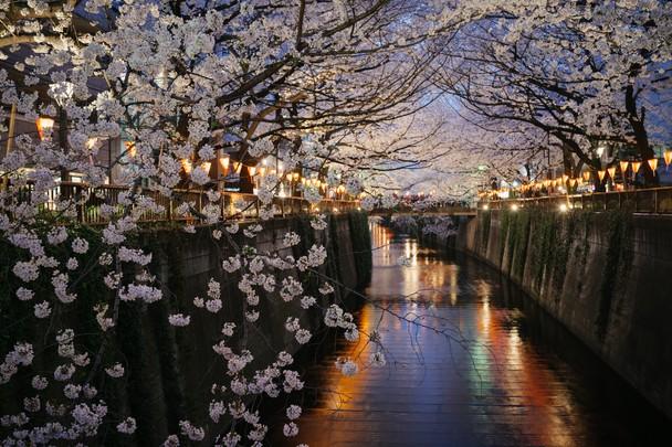 Цветение сакуры. Накамегуро, Токио, Япония. Фото: Giovanni Pascarella/travel.nationalgeographic.com