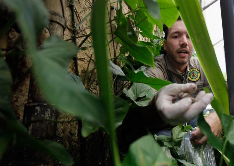 Збір равликів співробітниками департаменту сільського господарства штату Флорида. Фото: Joe Raedle/Getty Images