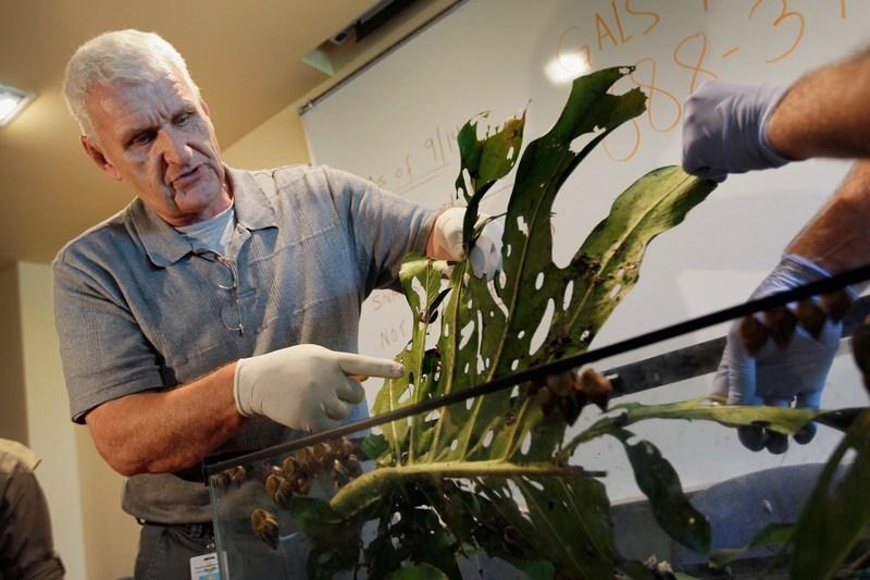 Сотрудник департамента сельского хозяйства Флориды демонстрирует поврежденное улитками растение. Фото: Joe Raedle/Getty Images