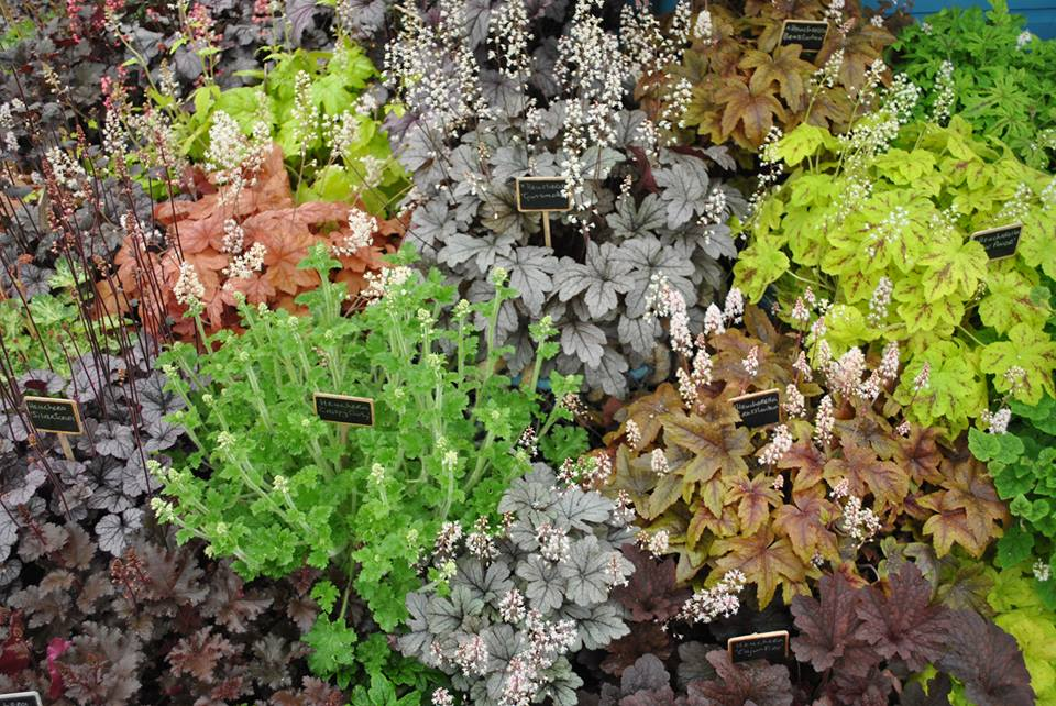 Разнообразие растений «гейхера» на выставке цветов в Челси. Фото: rhschelsea/facebook.com