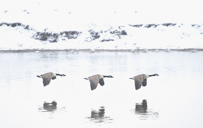 Ноттінгем, Англія, 21січня. Канадські гуси летять уздовж засніжених берегів річки Трент. Фото: Laurence Griffiths/Getty Images