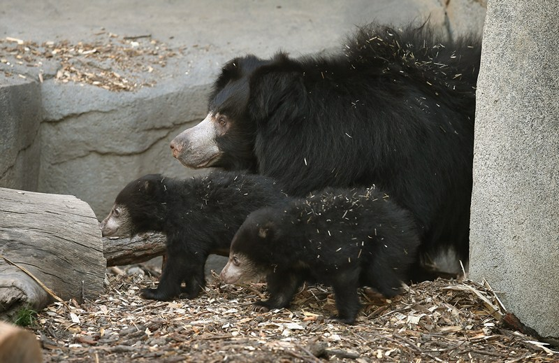 Ведмедиця-губач Хані з ведмежатами в зоопарку Брукфілд. Фото: Scott Olson/Getty Images