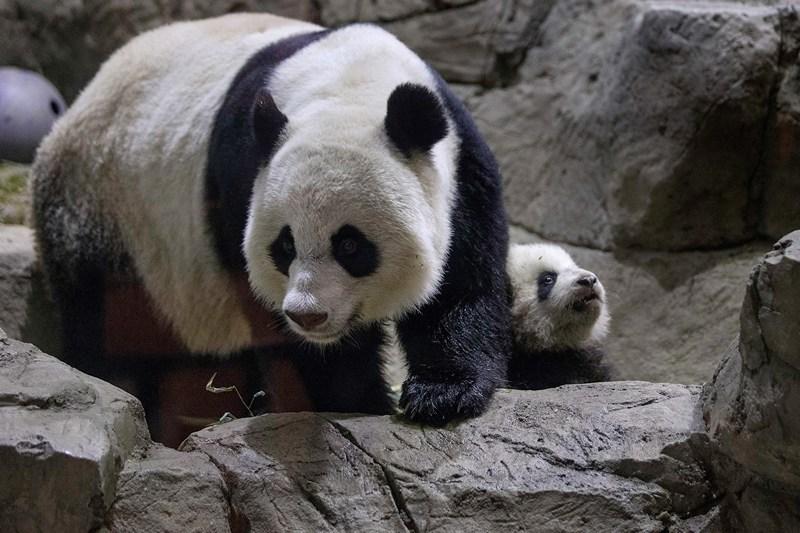 Мама Мэй Сян и малышка Бао Бао. Фото: Chip Somodevilla/Getty Images