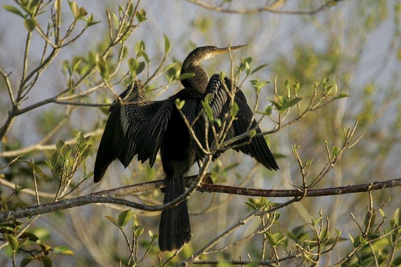 Американская змеешейка (Анайнга). Национальный парк Эверглейдс, Флорида. Фото: Joe Raedle/Getty Images