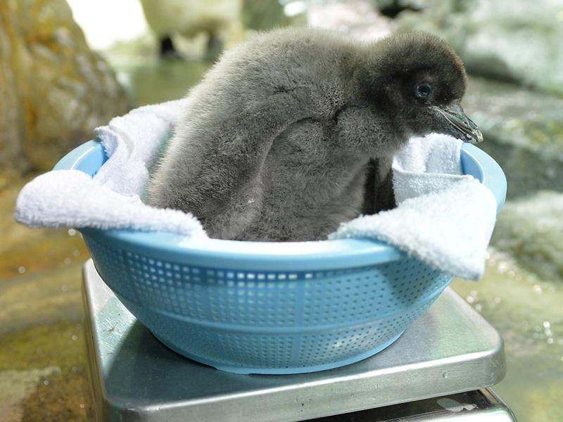 Осака, Японія, 26 липня. Зважування дитинчати пінгвіна Аделі. Вага малюка, що народився 10 липня, склала 680 грамів. Фото: KAZUHIRO NOGI/AFP/Getty Images