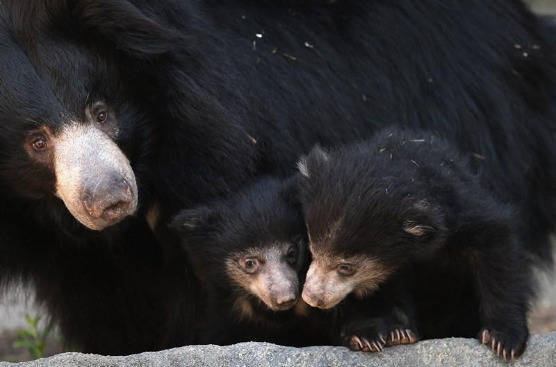 Брукфилд, пригород Чикаго, США, 8 мая. Медведица-губач Хани впервые вывела «в свет» своих медвежат, родившихся 20 января. Фото: Scott Olson/Getty Images