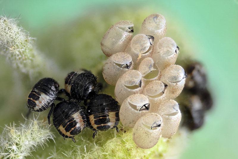 Народження жуків. Фото: Frederic Labaune/Auxonne, France