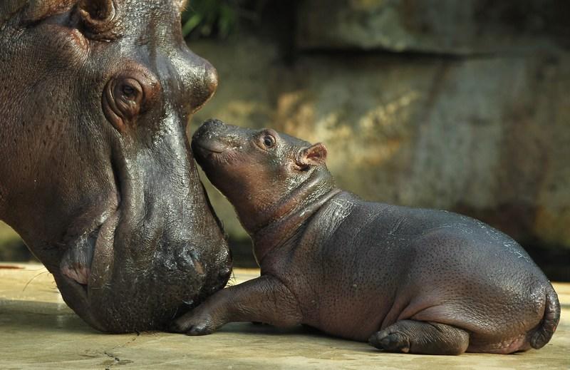 Бегемотиха Ніколь з малятком у Берлінському зоопарку. Фото: Sean Gallup/Getty Images