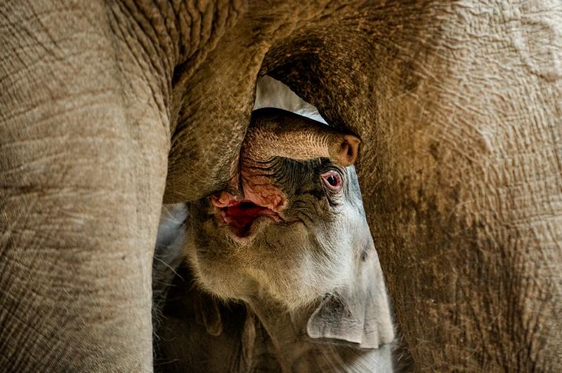 Копенгаген, Дания, 25 февраля. Слонёнок, появившийся на свет ранним утром, питается молоком. Фото: TORKIL ADSERSEN/AFP/Getty Images