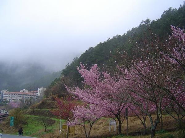 Цветение вишен в Тайване. 24 февраля 2011 года. Фото: The Epoch Times