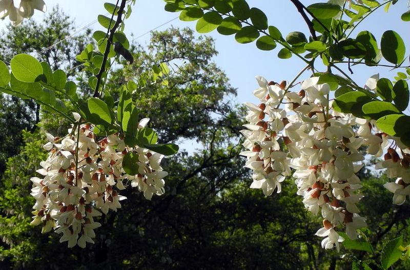 У парку Учкуївка, ... «білої акації грона запашні. Фото: Алла Лавриненко / EpochTimes.com.ua