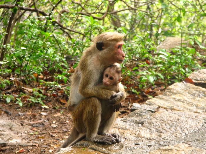 На острові живе безліч мавп. Фото: mckaysavage1/Flickr