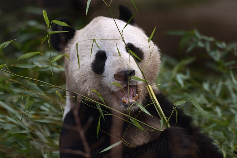 Велика панда Ян Гуан. Фото: Jeff J Mitchell/Getty Images