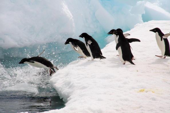 Пингвины - самые закаленные птицы. Фото:Getty Images