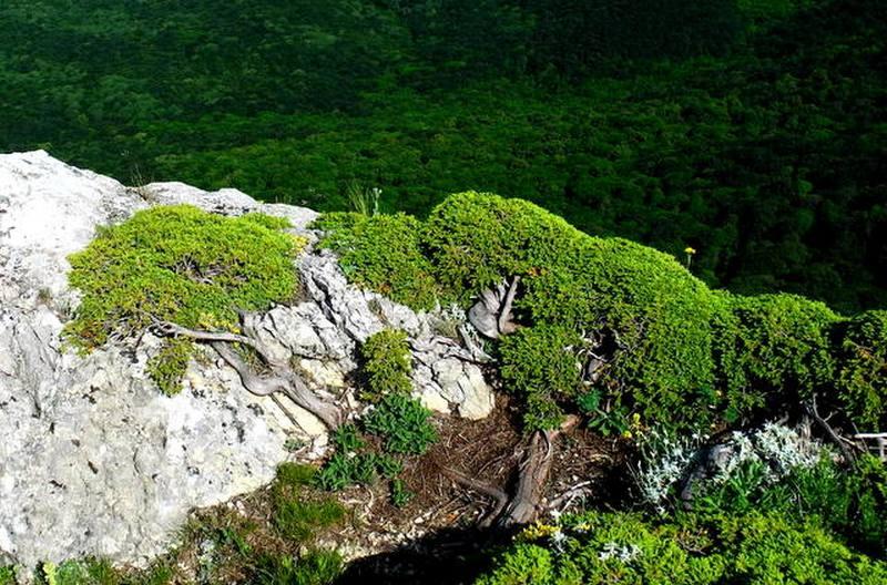 Стелющийся можжевельник, Чатыр-Даг. Фото: Алла Лавриненко/Великая Эпоха