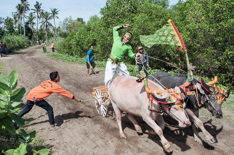 Джимбаран, Балі, 28 липня. Глядач підстьобує буйвола під час традиційної гонки на буйволячих упряжках, щоб той біг швидше. Фото: Putu Sayoga/Getty Images