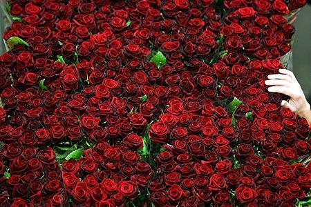 Свежесрезанные розы перед сортировкой в израильской оранжерее. В течение 24 часов розы сортируют, упаковывают и доставляют грузовым самолетом европейским покупателям. Фото: David Silverman/Getty Images