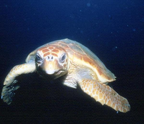 Крупный самец черепахи логгерхед встречает Джона Кристофера Файна около одного и того же рифа в течение последних 19 лет. Фото с сайта theepochtimes.com