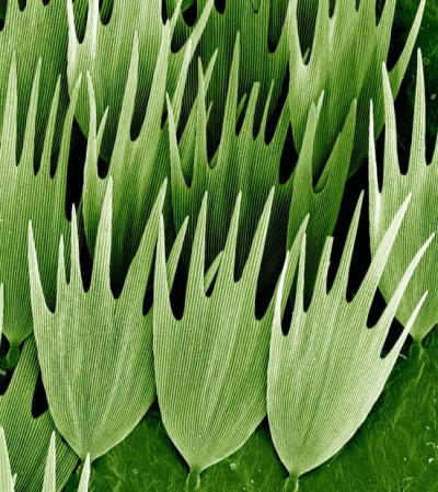 На фото зображено лусочки з крилець метелика сатурнія луна, що мешкає в дощових лісах Мадагаскару. За довгий хвіст, який має ця комаха, її ще називають метеликом-кометою. Сатурнія луна не має рота, харчується вона тільки будучи гусінню, тож живе лише 10