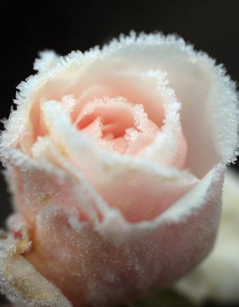Покриті інеєм троянди — в Англію прийшли перші заморозки. Фото: Christopher Furlong/Getty Images