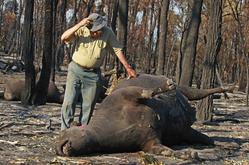 Сітон, Австралія, 19січня. Фермер оглядає обгоріле тіло корови. Рекордна спека стала причиною лісових пожеж по всій Австралії. Фото: Craig Sillitoe/Getty Images