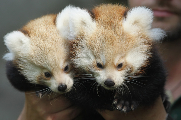 Панди-близнятка народилися в Берлінському зоопарку. Фото: Sean Gallup / Getty Images