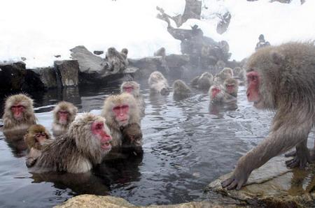 Рассказывают, что макаки с других гор, узнав об удивительных источниках попытались перебраться к горячей воде, но были с изгнаны местными обитателями. Фото: Koichi Kamoshida/Getty Images