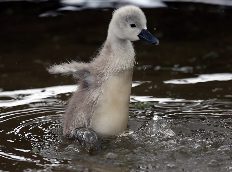 Ебботсбері, Англія, 23 травня. Пташеня лебедя-шипуна купається у водоймі. У лебединій колонії з'явилися перші пташенята. Фото: Matt Cardy/Getty Images