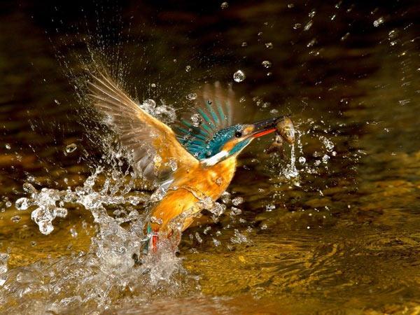 Зимородок ловит рыбу. Фото: epochtimes.com