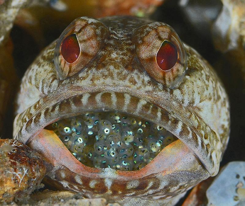 Сумеречный широкорот защищает икру от хищников. Ривьера-Бич, штат Флорида. Категория «Портрет рыб или морских животных», 3-е место. Фото: Judy Townsend/rsmas.miami.edu