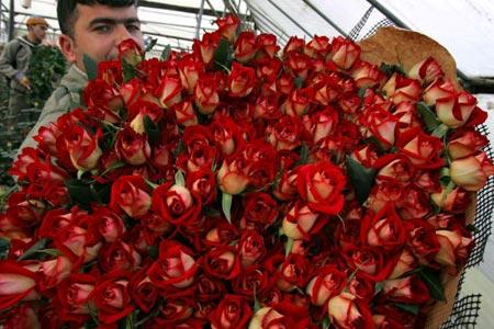Рабочий собирает розы в одной из израильских оранжерей. Фото: David Silverman/Getty Images