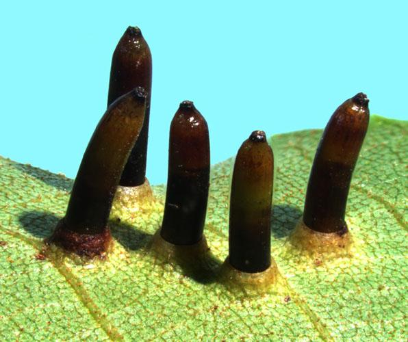 Паразитичні нарости (гали) на листках ліщини гікорі, викликані укусами комах галиць. Фото: Alexander Jurkevich, Michele Warmund/University of Missouri, USA