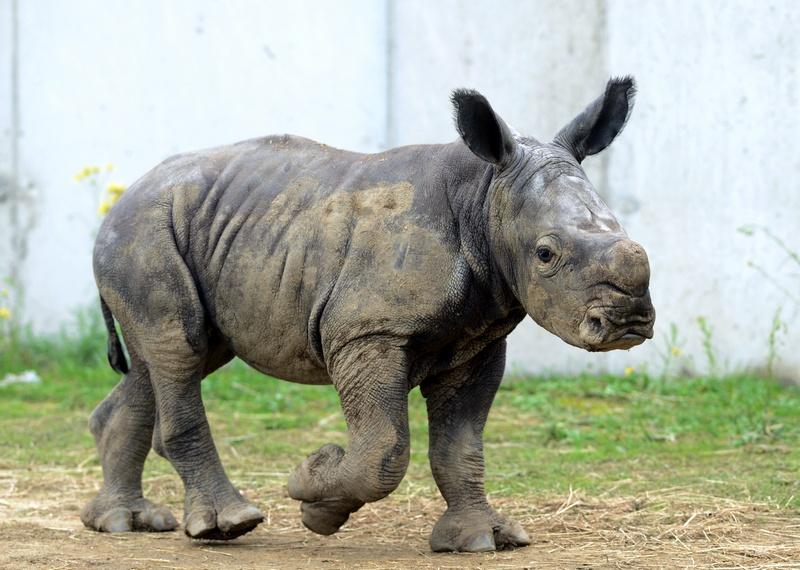 Погр, Франция, 4 октября. Двухнедельный детёныш носорога Голиаф гуляет в вольере зоопарка. Это первый случай появления детёныша носорога в 2012 году во Франции и третий — в Европе. Фото: PHILIPPE DESMAZES/AFP/GettyImages