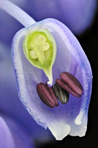 Цветок гадючьего лука. Фото: Frederic Labaune/Auxonne, France