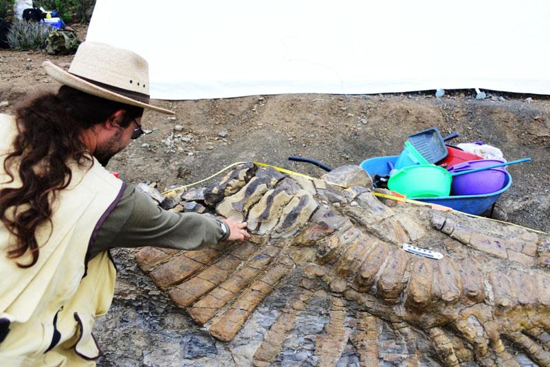 Окаменелые останки хвоста динозавра откопали в Мексике. Фото: Mauricio Marat / INAH