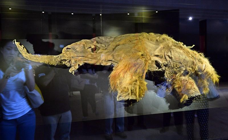 Иокогама, Япония, 12 июля. Жители города рассматривают хорошо сохранившееся тело 11-летнего якутского мамонтёнка Юка, погибшего 39 тыс. лет тому назад. Фото: KAZUHIRO NOGI/AFP/Getty Images