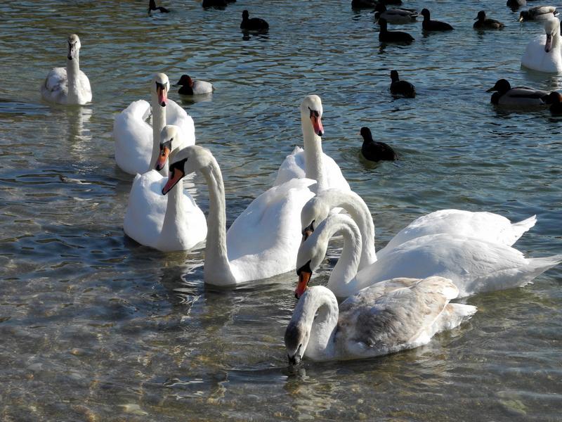 Лебеді з'явились у Севастополі. Фото: Алла Лавриненко/The Epoch Times Україна