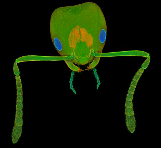 Голова рабочей особи фараонова муравья (известного также как «муравей домовый»). Это один из распространённых домашних вредителей. Фото: Jan Michels/Institute of Zoology, Kiel, Germany
