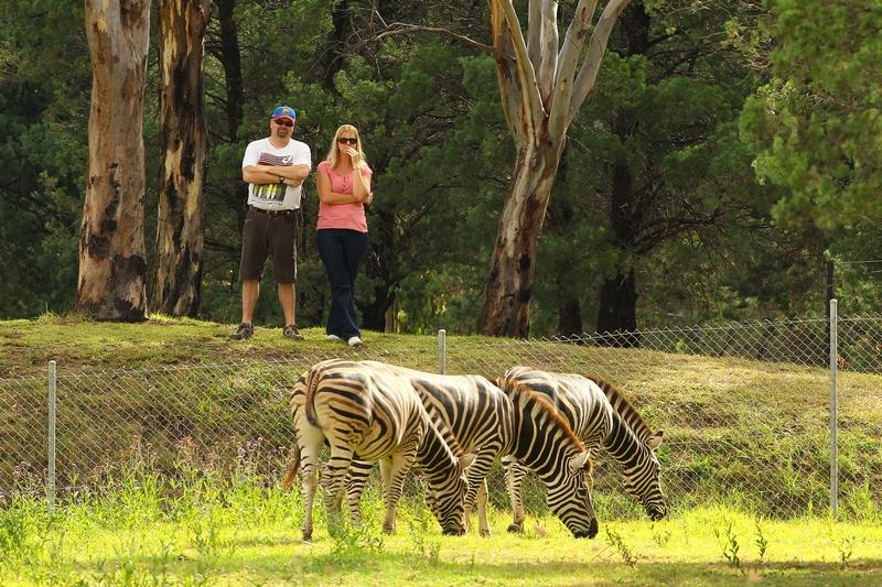 Зебри в зоопарку «Західні рівнини Таронга». Даббо, Австралія. Фото: Mark Kolbe/Getty Images
