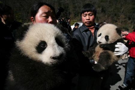 Работники Китайского Центра защиты и изучения гигантских панд несут детенышей большой панды. Фото: China Photos/Getty Images