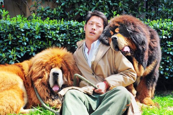 Два тибетских мастифа позируют 18 марта 2014 г., после того как были проданы на животноводческой ярмарке для богатых в Ханчжоу, провинции Чжэцзян, Китай. Фото: STR/AFP/Getty Images