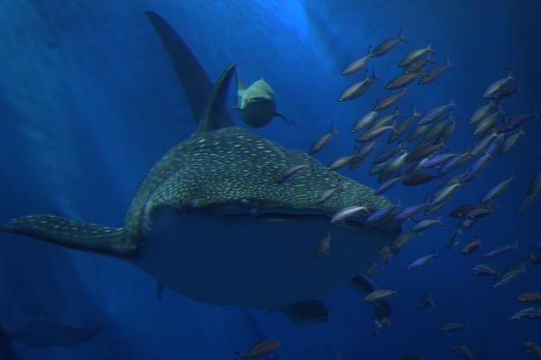 Окінава, Японія. 8-метрова китова акула плаває з іншими рибами в найбільшому акваріумі світу розміром 8,2 м х 22,5 м. Фото: Koichi Kamoshida / Getty Images